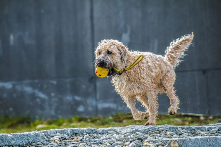 how fast can a labradoodle run training, can labradoodles run long distances when do labradoodles stop growing does brain training for dogs actually work