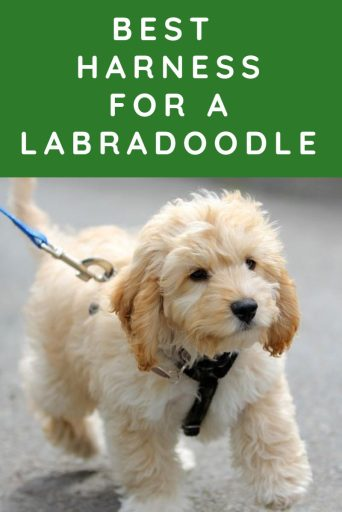 best harness for a labradoodle Labradoodle Collar Or Harness