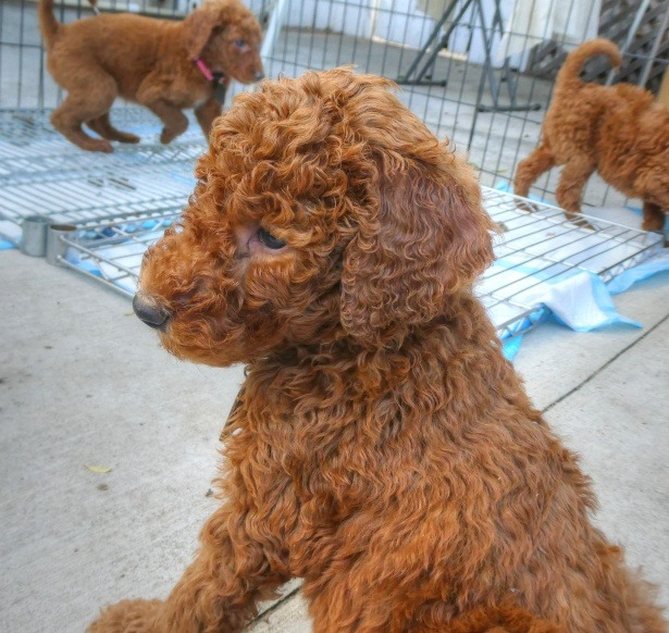 can a labradoodle be left alone f2 goldendoodle
