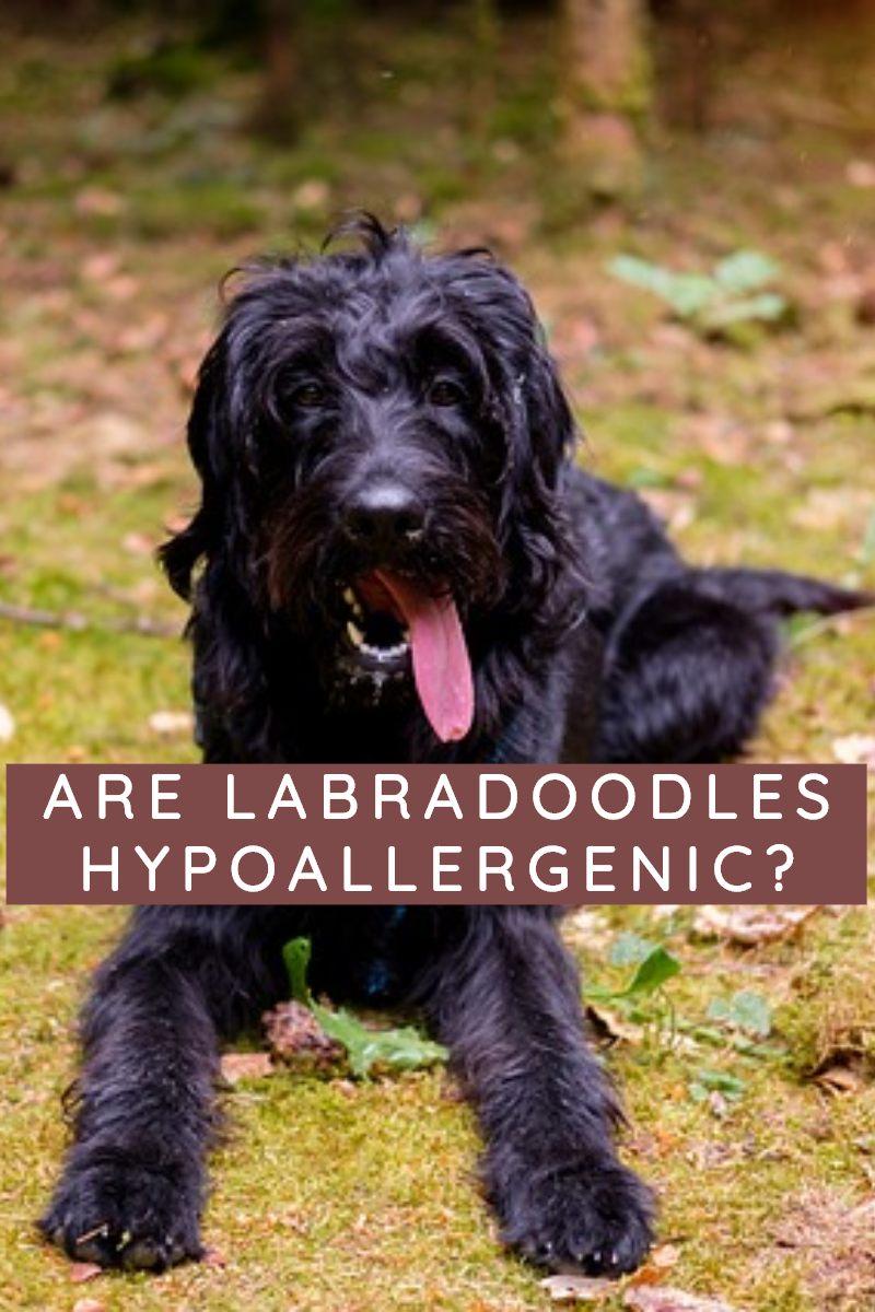 are labradoodles hypoallergenic labradoodle vs goldendoodle