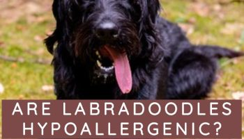 are labradoodles hypoallergenic labradoodle vs goldendoodle