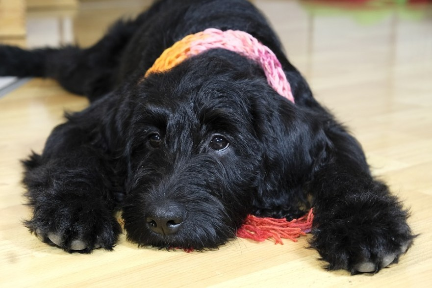 can a labradoodle live in an apartment