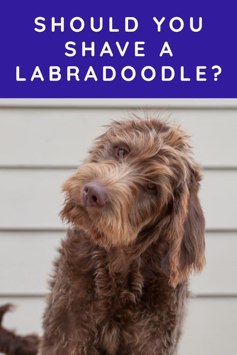 SHOULD I SHAVE MY LABRADOODLE