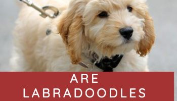 ARE LABRADOODLES CALM DOGS