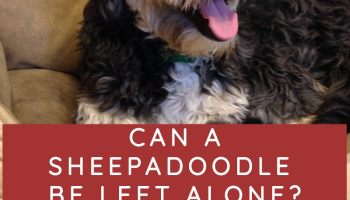 can a sheepadoodle be left alone