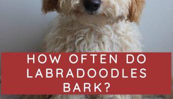 How often do labradoodles bark