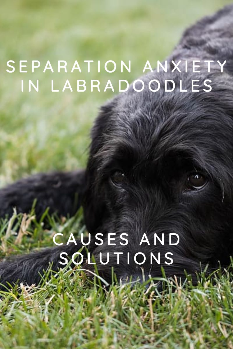 separation anxiety in labradoodles are labradoodles prone to separation anxiety
