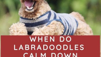 WHEN DO LABRADOODLES CALM DOWN