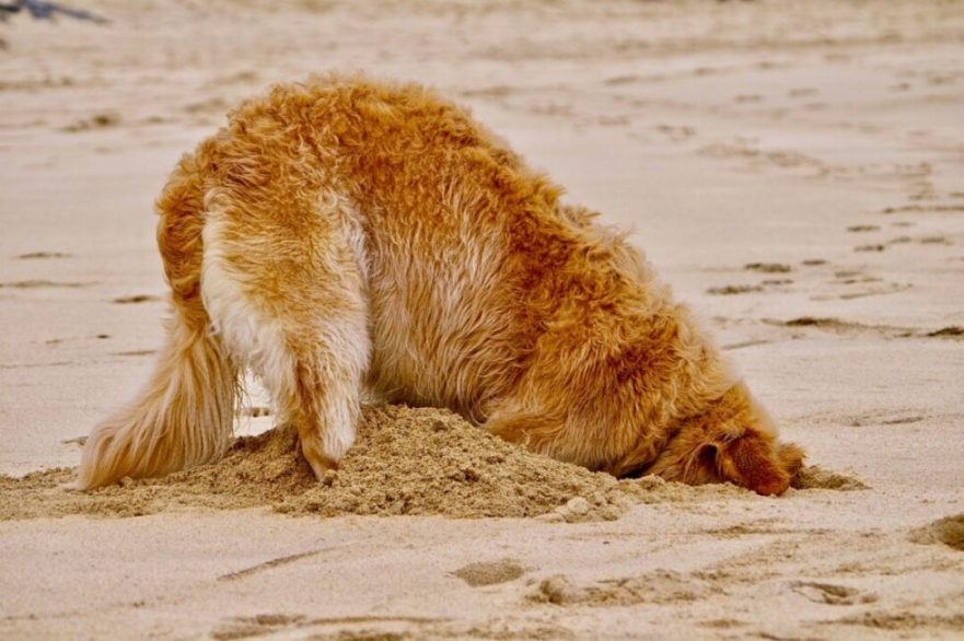 why do labradoodles dig