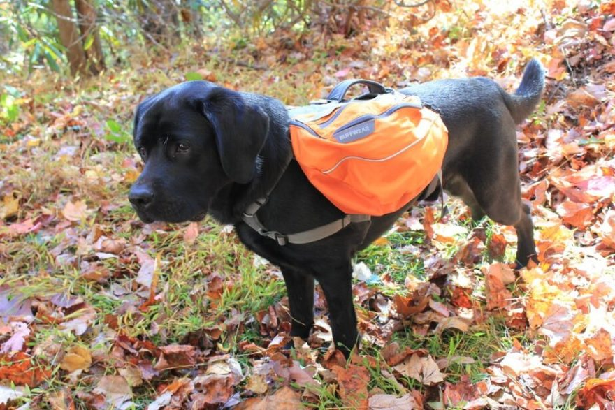 labradoodle hiking ruffwear back pack