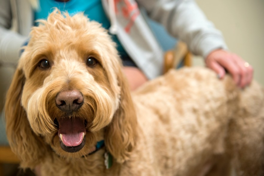 best age to neuter labradoodle best age to goldendoodle best age to spay labradoodle best age to spay goldendoodle dog scared of the vet