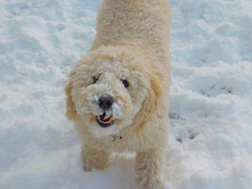 can labradoodles stay outside in the cold labradoodles in the cold