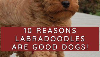 labradoodle good family dog labradoodle vs goldendoodle