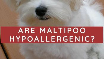 ARE MALTIPOO HYPOALLERGENIC