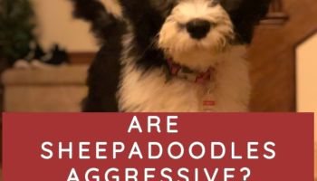 ARE SHEEPADOODLES AGGRESSIVE SHEEPADOODLE TEMPERAMENT