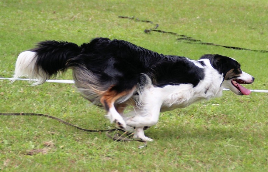 border collie agility zyrtec vs zyrtec d