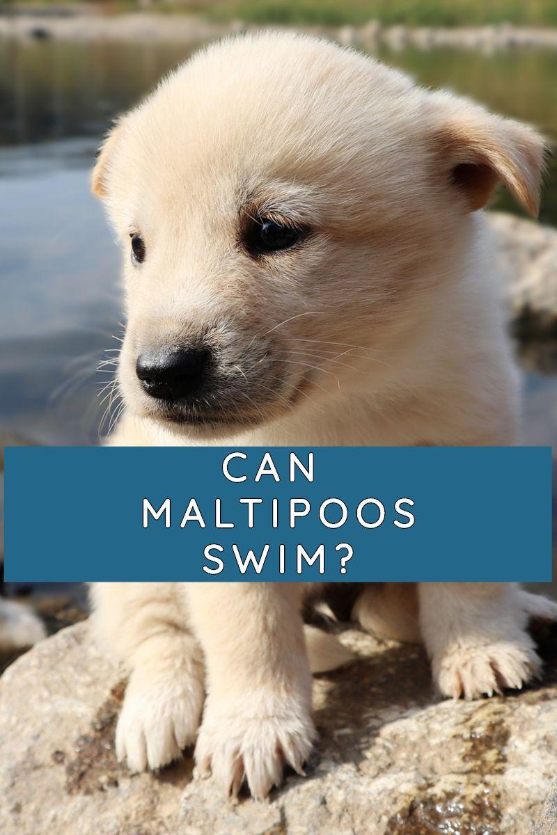 CAN MALTIPOOS SWIM