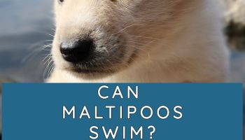 CAN MALTIPOOS SWIM