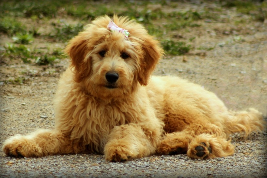 labradoodle vs goldendoodle f1 goldendoodle goldendoodle shedding how often should goldendoodles be groomed