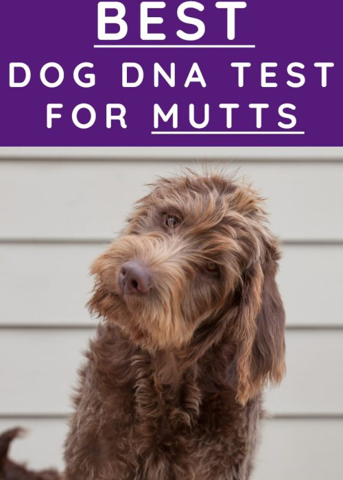 BEST DOG DNA TEST FOR MUTTS is a labradoodle a mutt