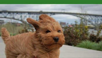 BEST GPS TRACKER FOR LABRADOODLES