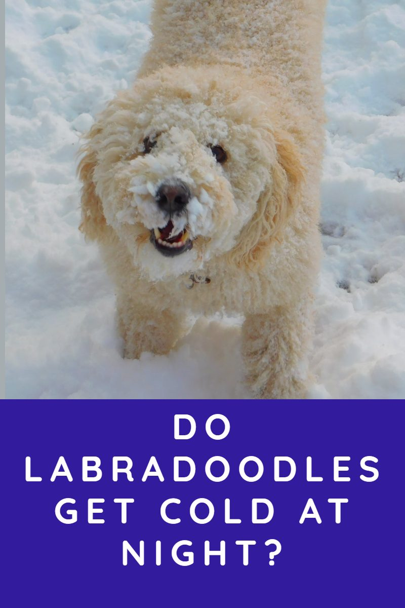 DO LABRADOODLES GET COLD AT NIGHT
