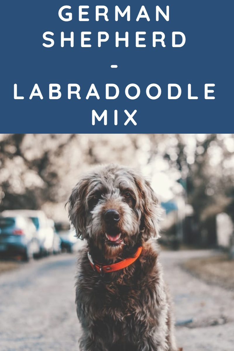 GERMAN SHEPHERD LABRADOODLE MIX
