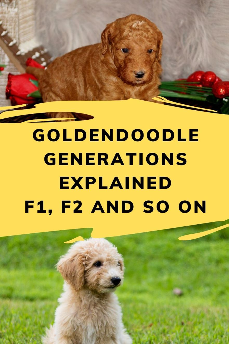 goldendoodle generations