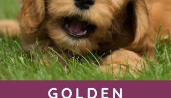 golden labradoodle