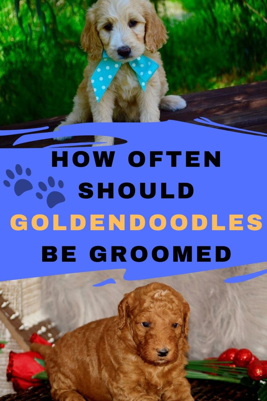 how often should goldendoodles be groomed