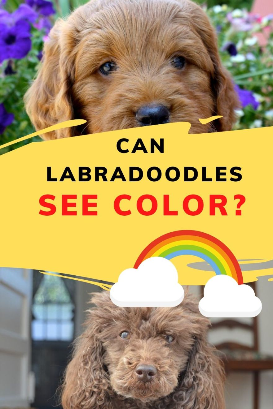 can labradoodles see color