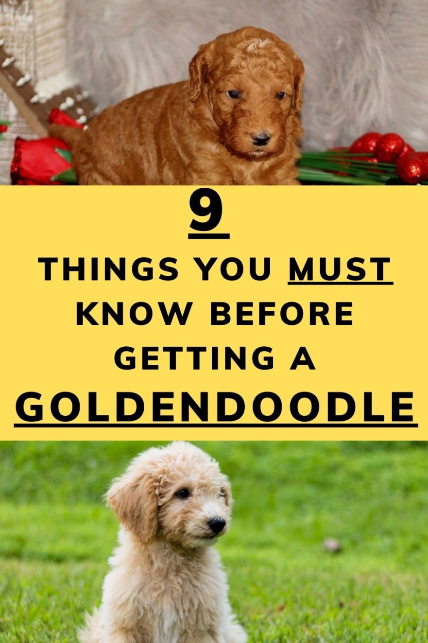 must know before getting a Goldendoodle