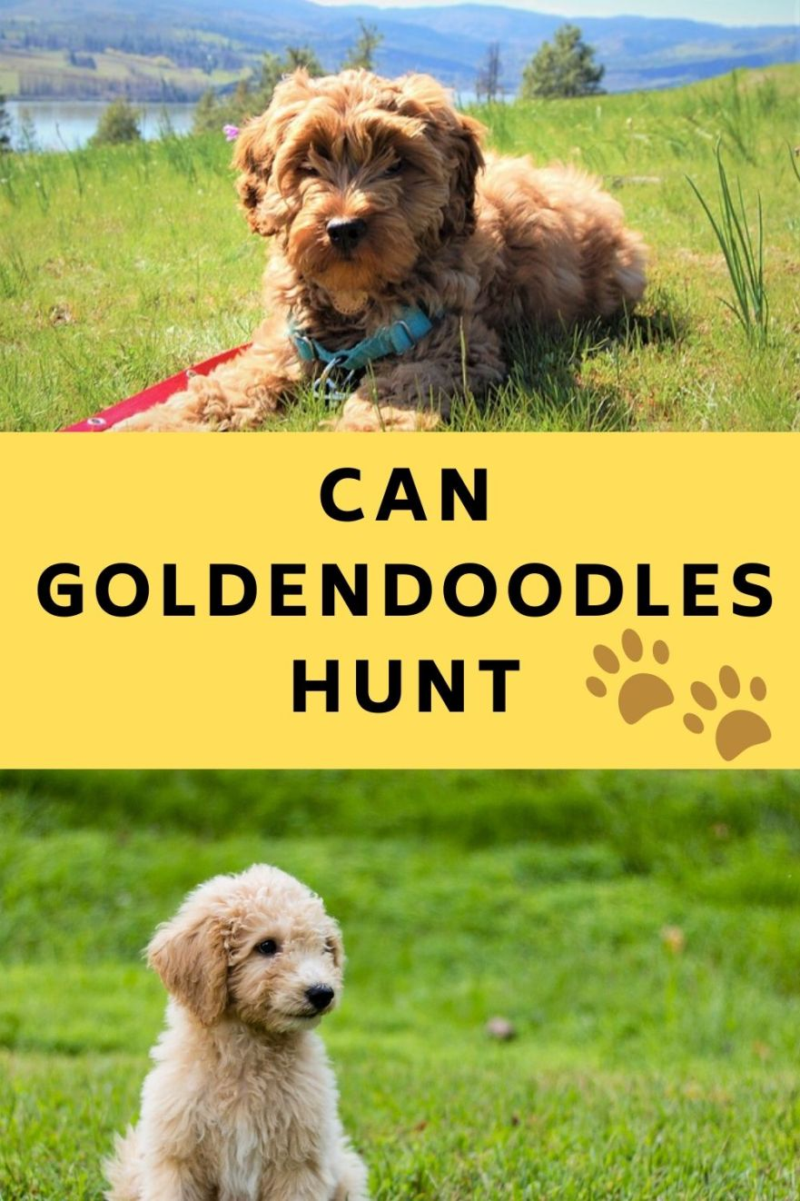 Can Goldendoodles Hunt