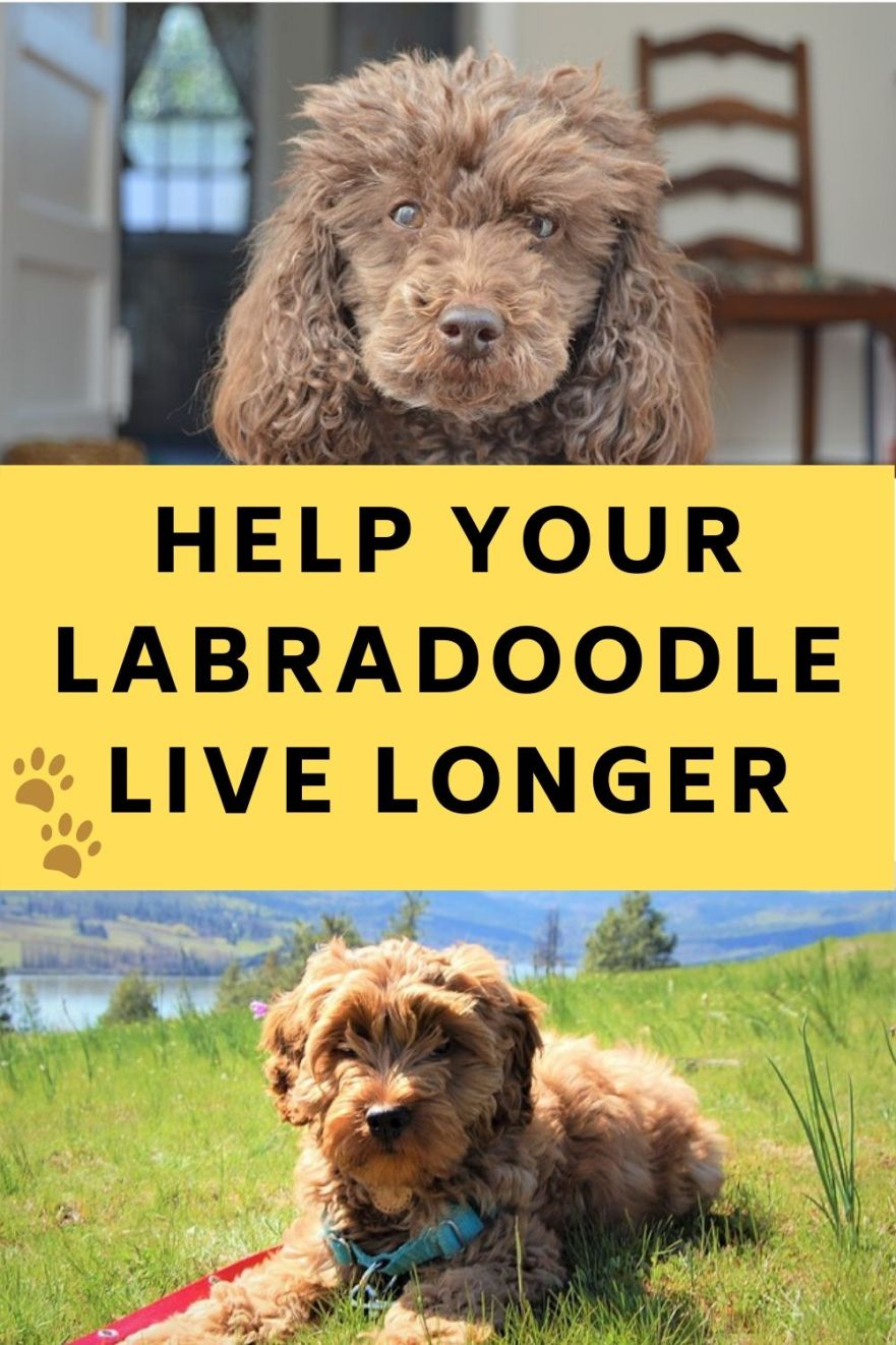 Labradoodle Lifespan