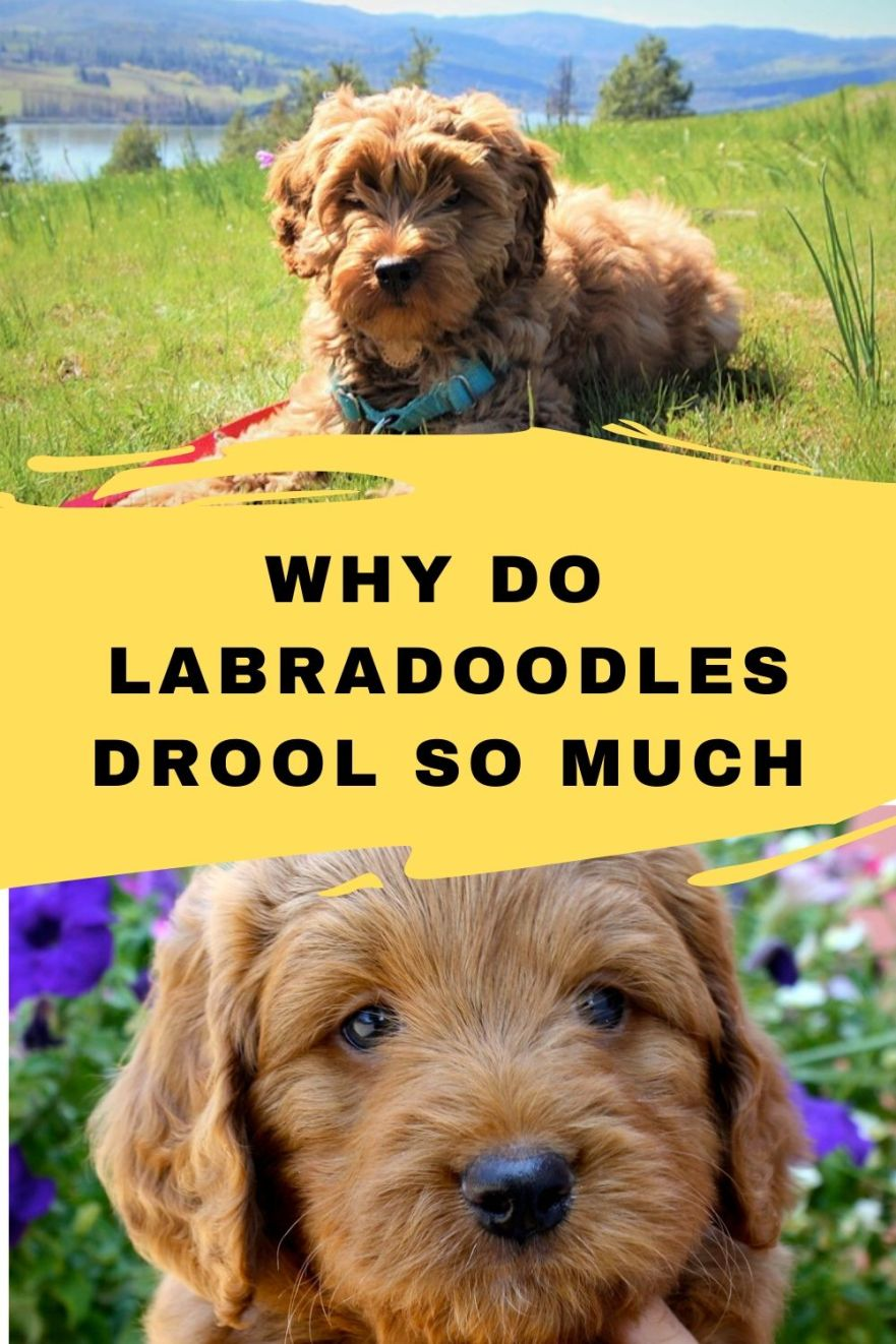 Why do Labradoodles drool
