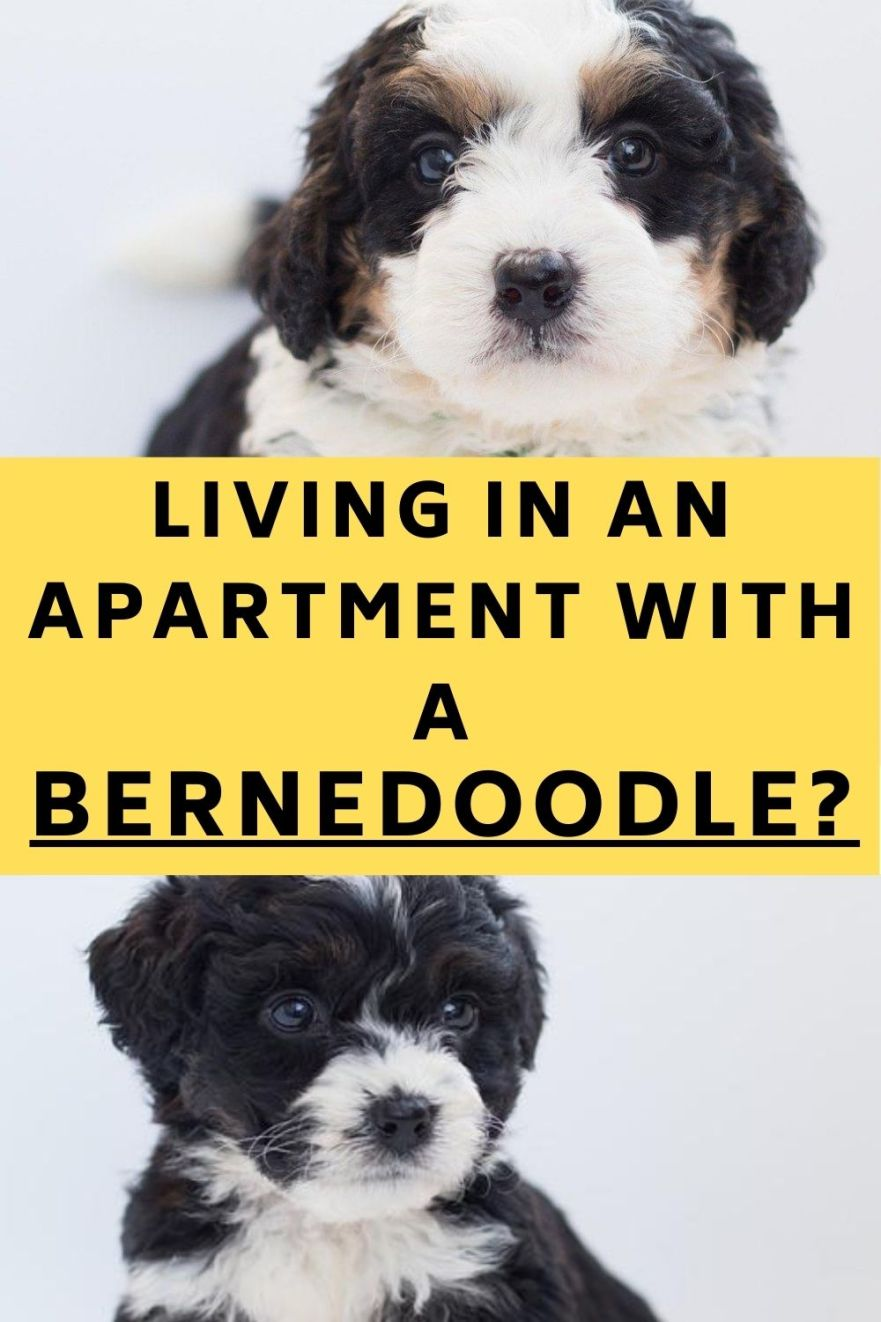 Can Bernedoodles Live In An Apartment