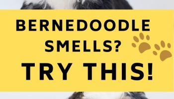 Why does my Bernedoodle smell