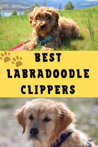 Best Labradoodle Clippers