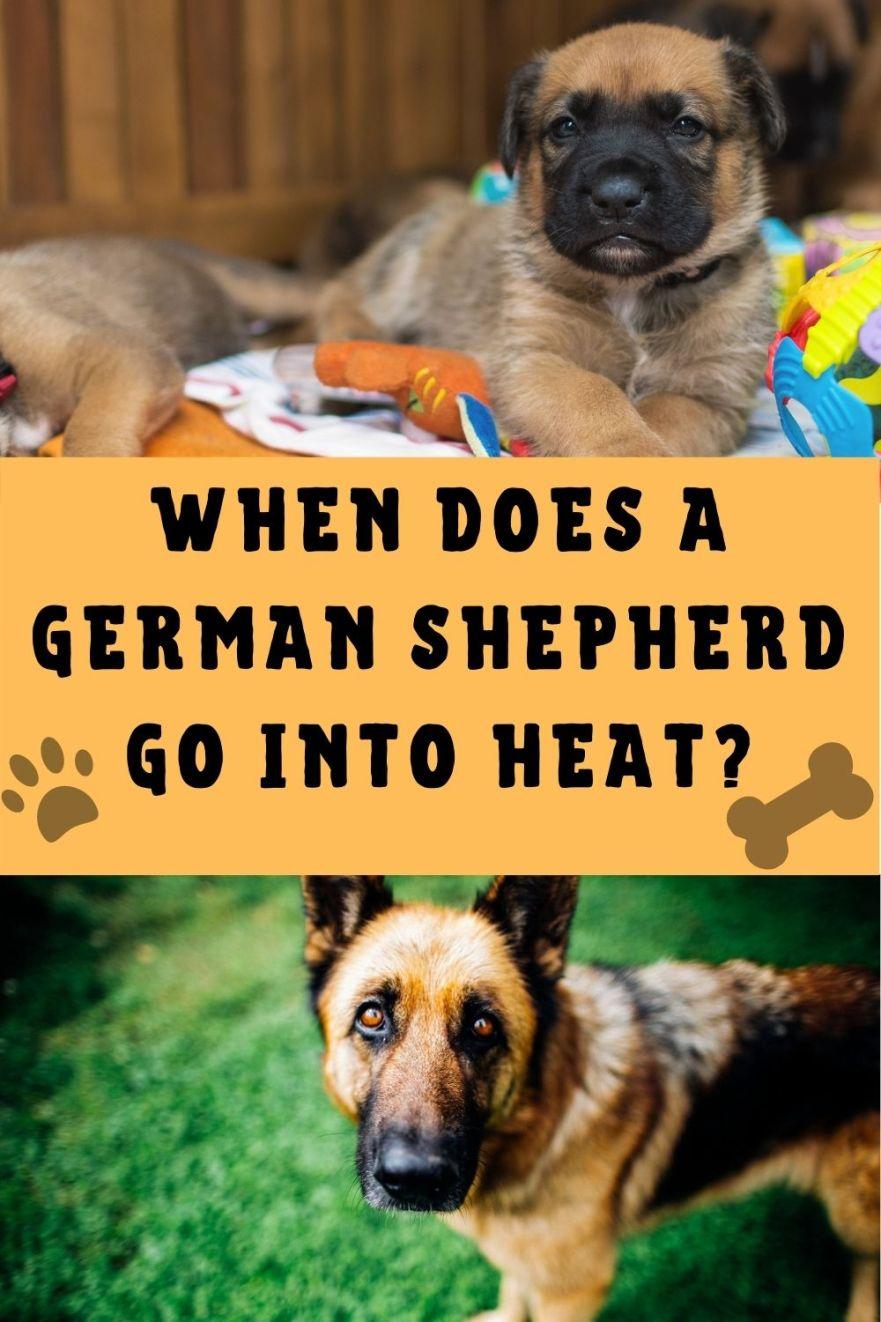 when does German Shepherd go into heat