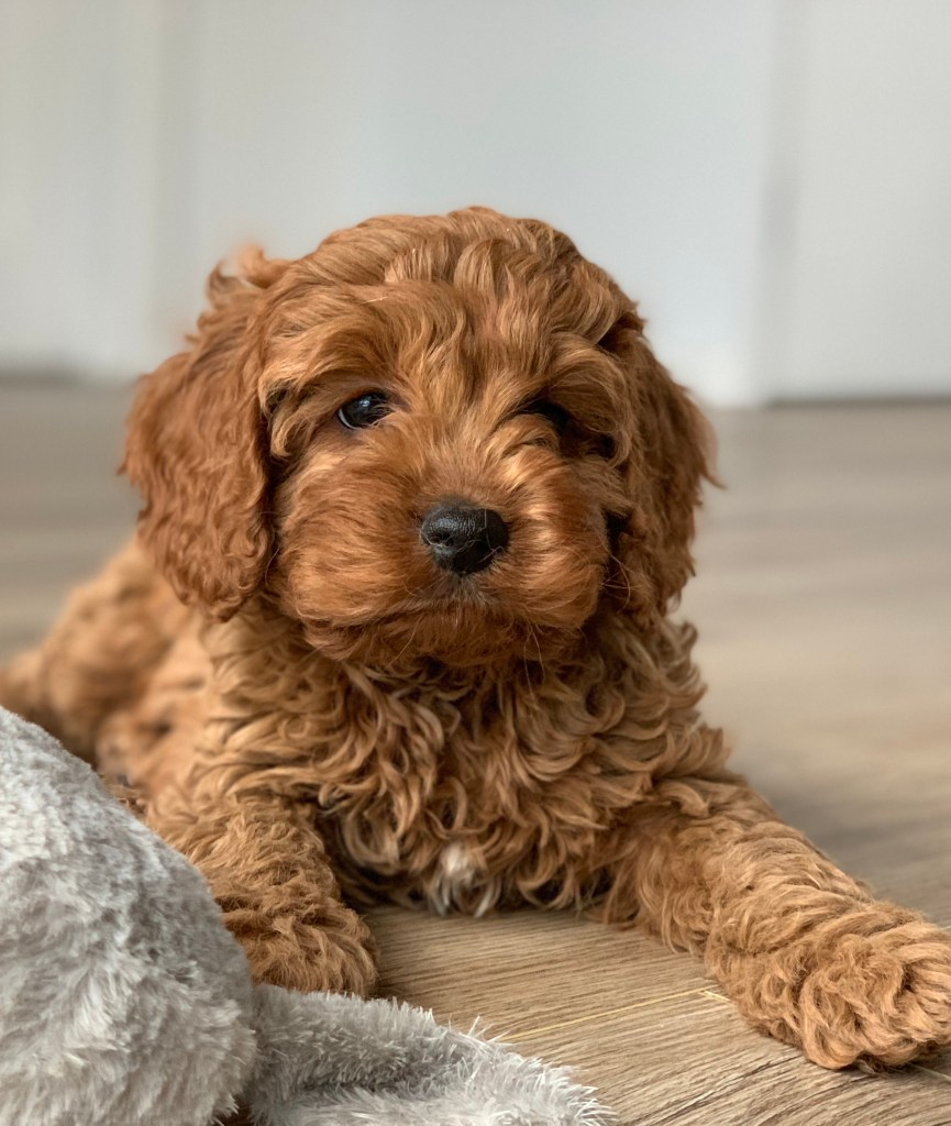 Can a Cavapoo be left alone