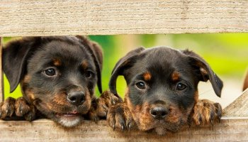 Can Two Female Rottweilers Live Together? & Can They Get Along?