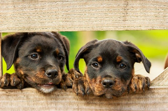 Owning Two Rottweilers