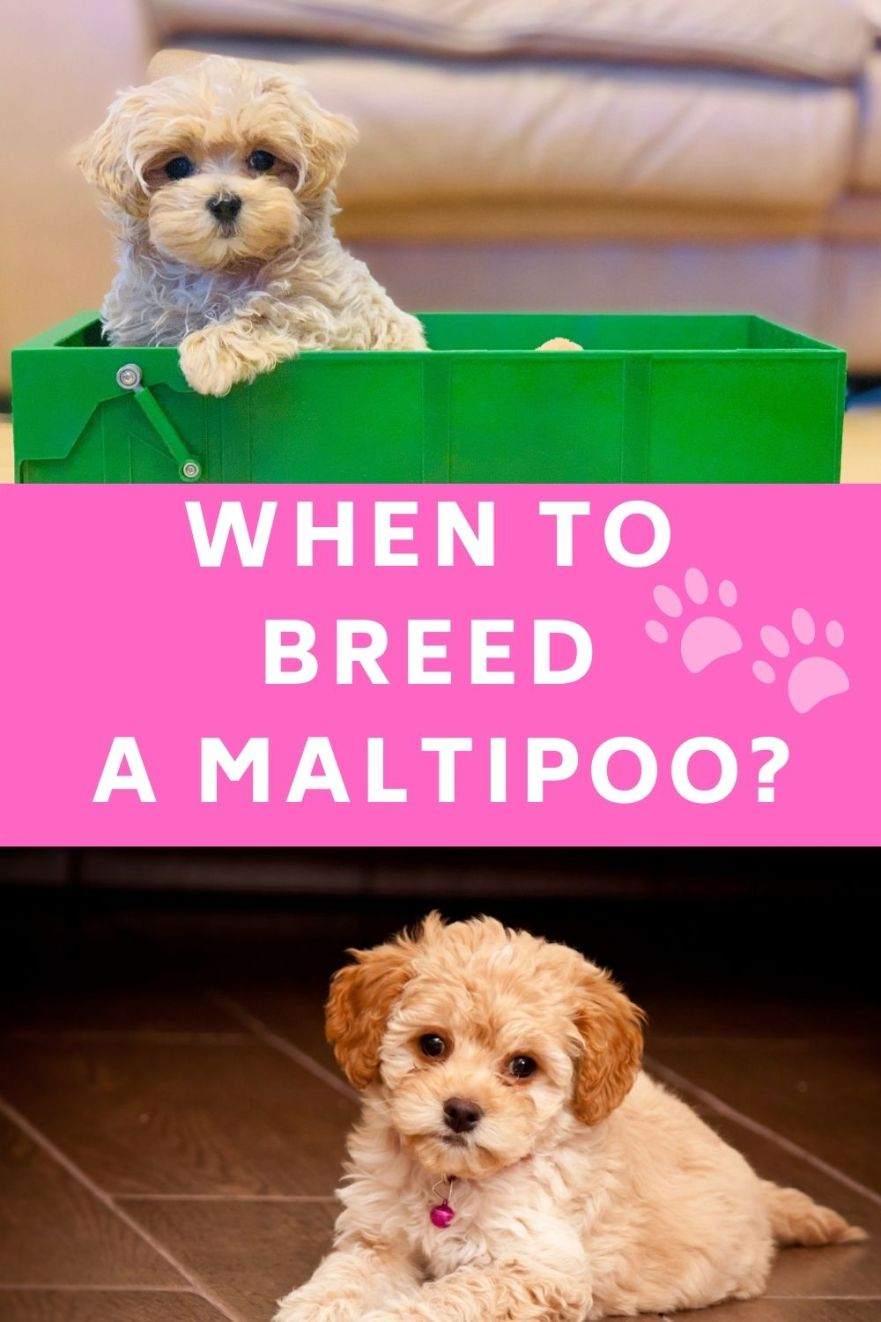 best age to breed a maltipoo