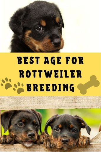 best age to breed a rottweiler