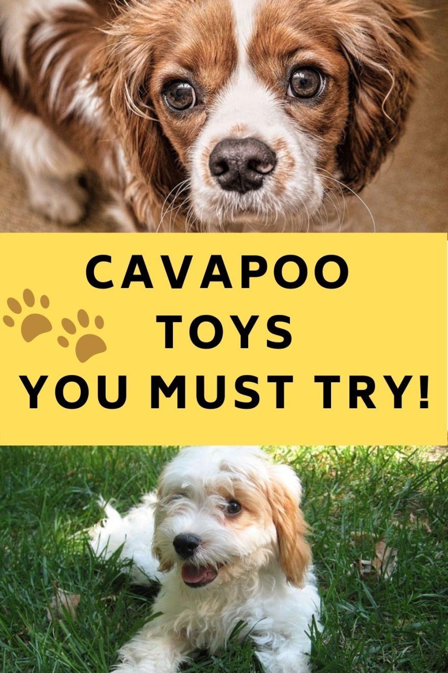 best cavapoo toys