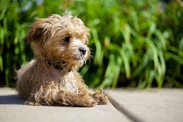 How to Train A Maltipoo to be Calm Prevent Maltipoo Separation Anxiety Maltipoo Hind Leg Problems