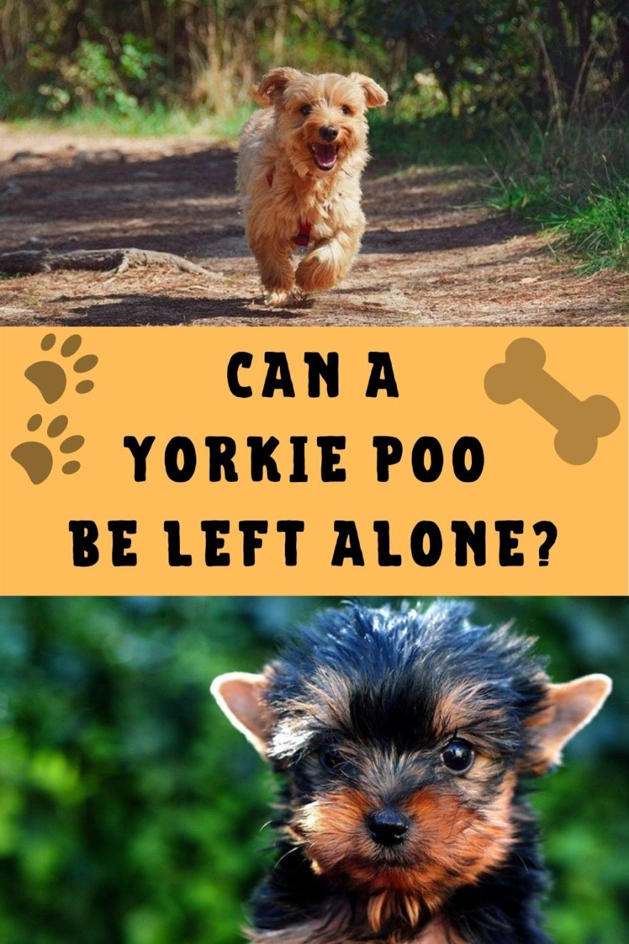 Can a Yorkie Poo be left alone