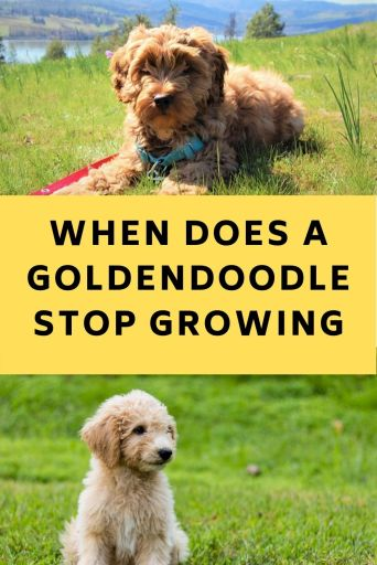 When Does A Goldendoodle Stop Growing