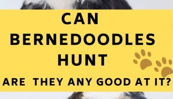 can Bernedoodles hunt