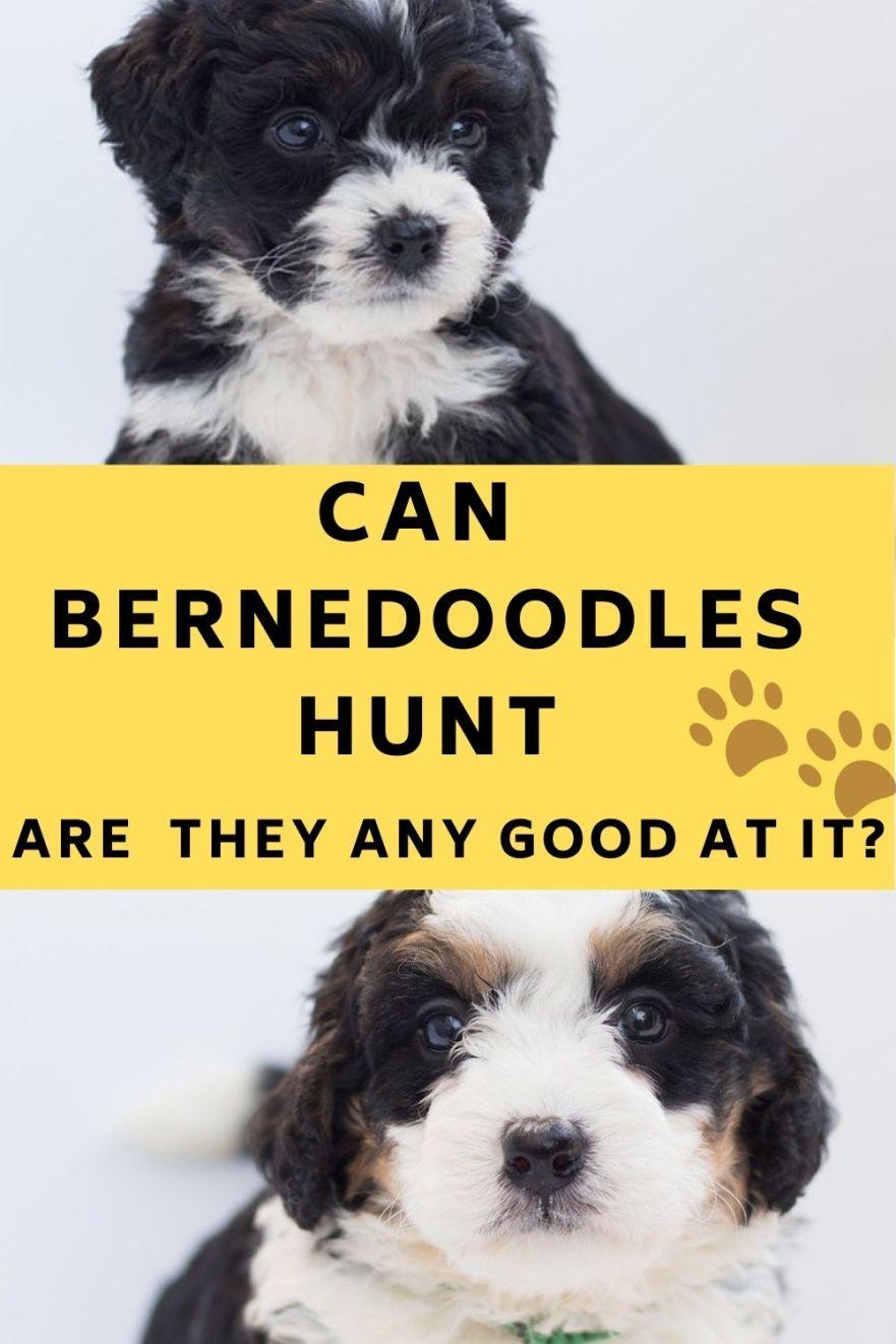 can Bernedoodles hunt